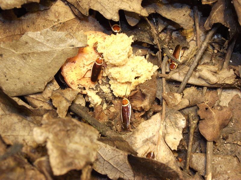 [http://www.deuterium.cz/zvirata/pseudomops_serpent rionalis_2.jpg]